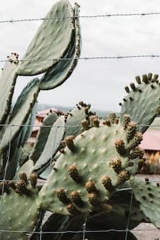 Gros plan d'un beau grand cactus avec de longues branches épineuses et des fruits en fleurs sur eux