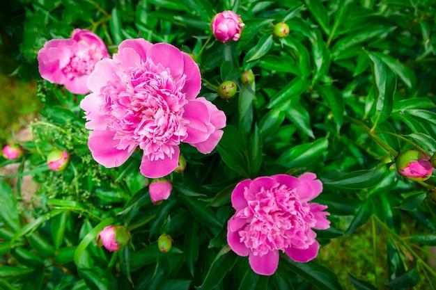 Gros plan d'un beau gros buisson de pivoine avec des fleurs roses
