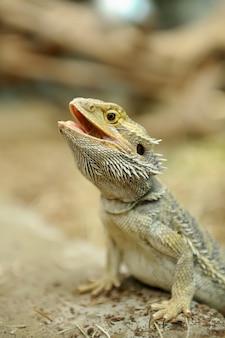 Gros plan sur un beau lézard dragon barbu