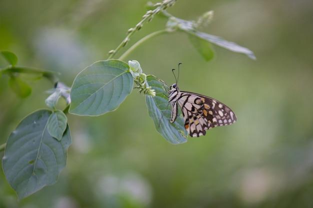 Gros plan sur beau papillon citron vert sur plante
