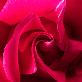 Gros plan, de, beau, rose