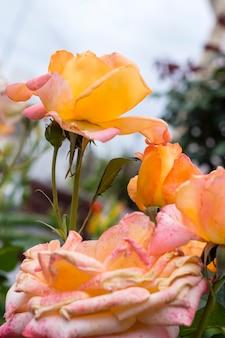 Gros plan, beau, roses, pétales