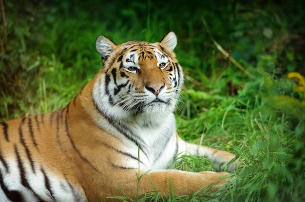 Gros plan beau tigre dans l'herbe