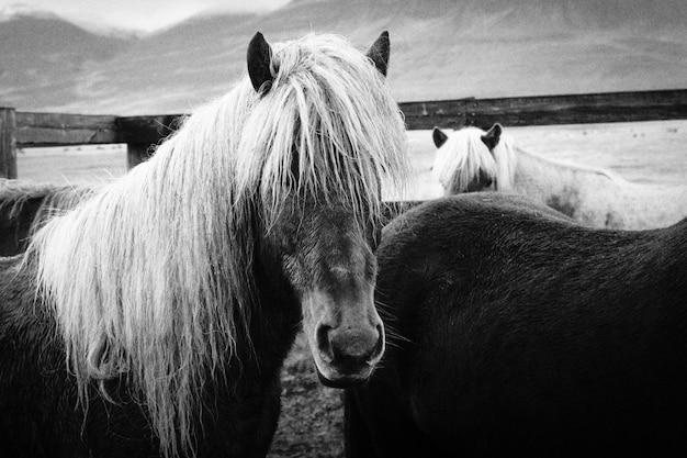 Gros plan de beaux chevaux sauvages aux cheveux longs