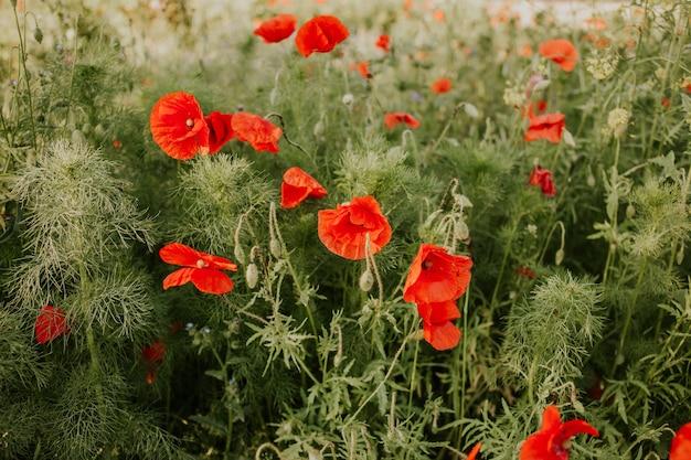 Gros plan de beaux coquelicots rouges dans un champ à la lumière du jour