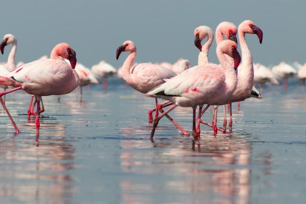 Gros plan de beaux flamants africains qui se tiennent dans l'eau calme avec réflexion. namibie
