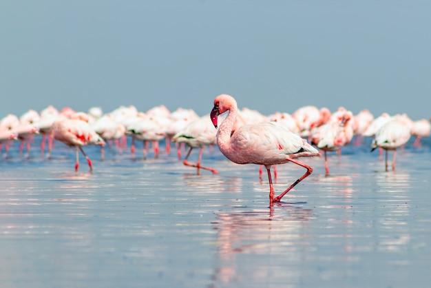 Gros plan de beaux flamants roses d'afrique qui se tiennent dans l'eau calme avec réflexion. namibie