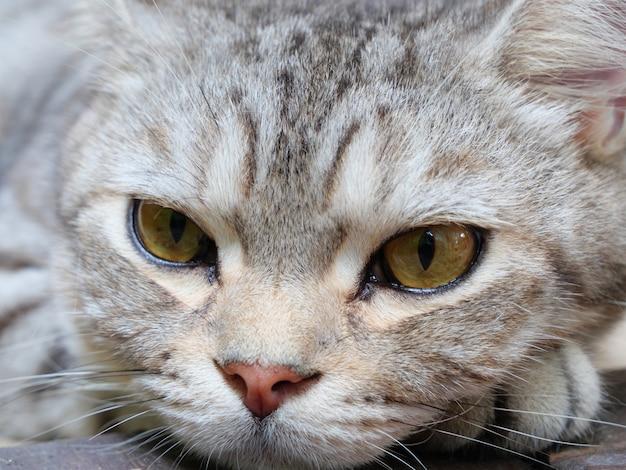 Gros plan de beaux yeux jaunes de chat tigré allongé sur le plancher en bois