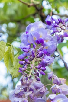Gros plan d'une belle cascade de fleurs de glycine