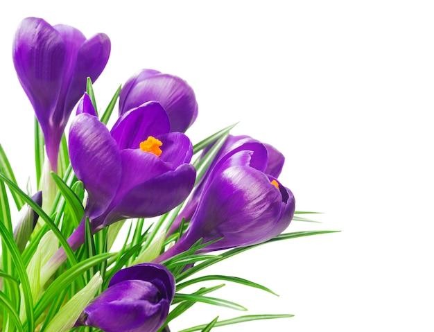 Gros plan de belle crocus sur blanc - fleurs printanières fraîches. bouquet de fleurs de crocus violettes.