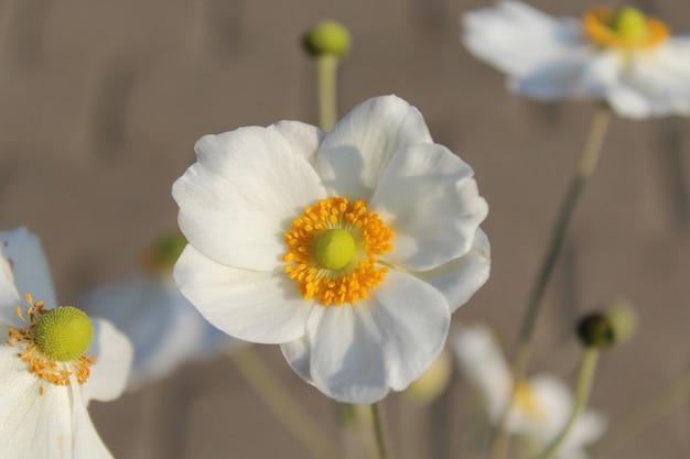 Gros plan d'une belle fleur d'anémone de récolte