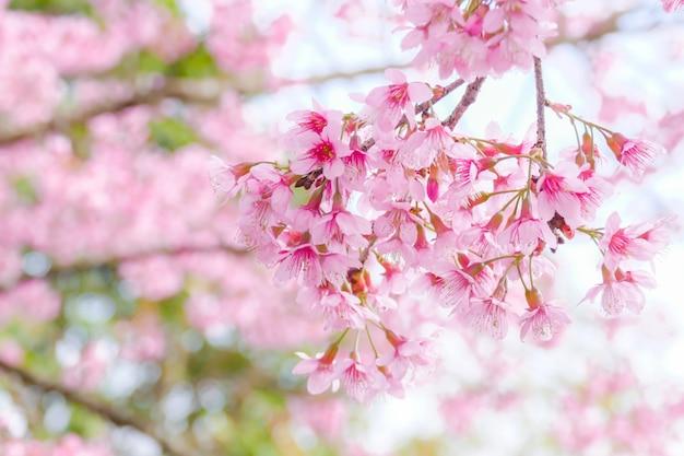 Gros plan de belle fleur de cerisier de l'himalaya sauvage