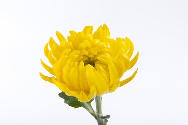Gros plan d'une belle fleur de chrysanthème jaune isolée sur un mur blanc