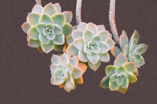Gros plan belle fleur colorée de cactus succulent, echeveria sur fond marron
