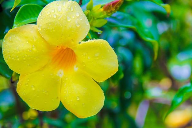 Gros plan belle fleur d'hibiscus jaune