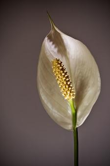 Gros plan d'une belle fleur de lis de paix