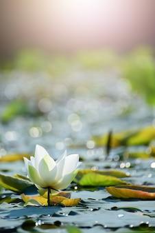Gros plan belle fleur de lotus rose dans un étang.
