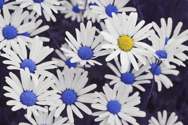Gros plan d'une belle fleur de marguerite jaune parmi les marguerites bleues - se démarquer concept