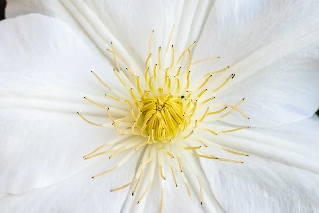 Gros plan d'une belle fleur de mélastome aux pétales blancs