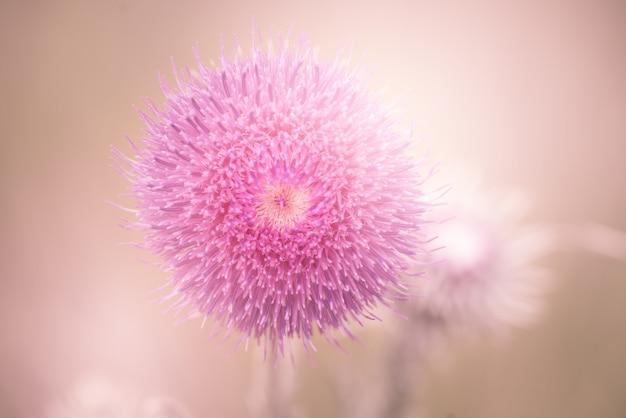 Gros plan d'une belle fleur de mimosa rose