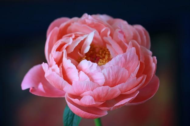Gros plan d'une belle fleur de pivoine à pétales roses sur un arrière-plan flou