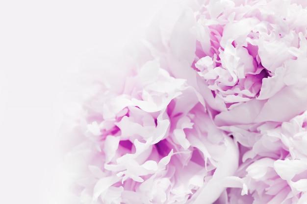 Gros plan d'une belle fleur de pivoine pourpre avec espace de copie.