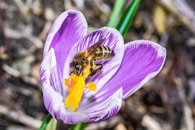 Gros plan d'une belle fleur pourpre de crocus vernus avec une abeille