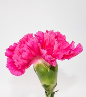 Gros plan d'une belle fleur rose avec un fond blanc