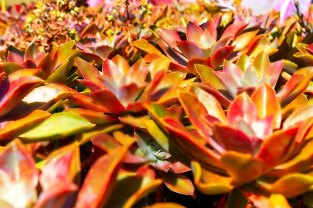 Gros plan belle fleur rouge dright de succulent cactus echeveria