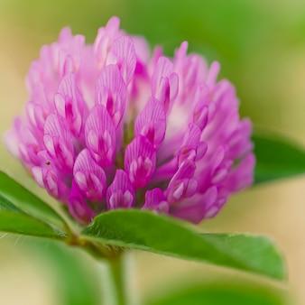 Gros plan d'une belle fleur sauvage qui fleurit dans un champ avec de la rosée du matin à gauche dessus