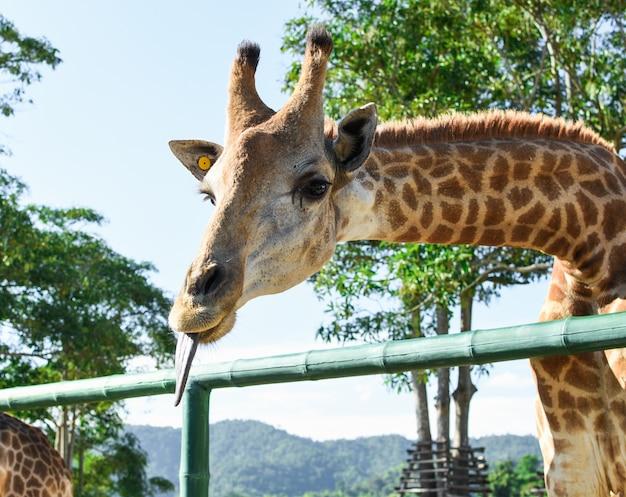 Gros plan de la belle girafe montrant la langue.