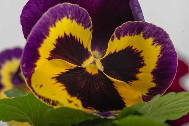 Gros plan d'une belle pensée jaune pourpre en pleine floraison