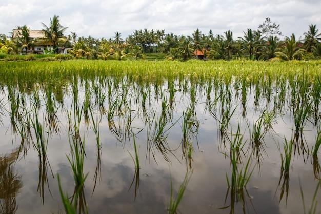 Gros plan d'une belle rizière.