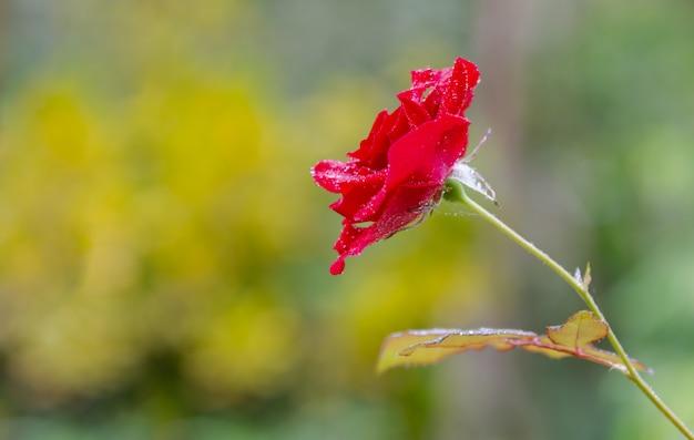 Gros plan belle rose dans un jardin.