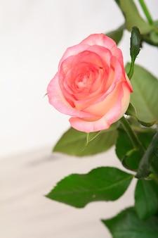 Gros plan d'une belle rose rose avec un fond en bois gris. vue de dessus.
