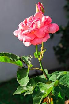 Gros plan sur une belle rose rose fraîche dans le jardin