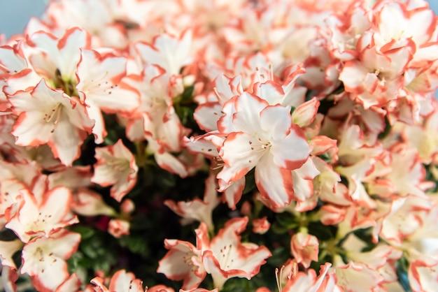Gros plan de belles azalées blanches et roses, mise au point sélective