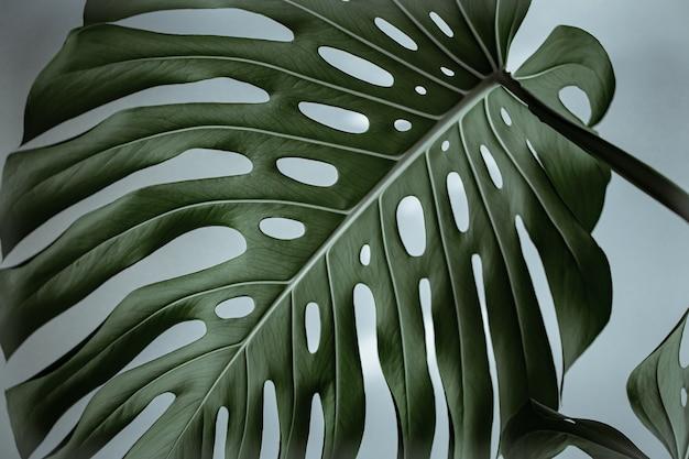 Gros plan de belles feuilles de monstera naturelles texturées.