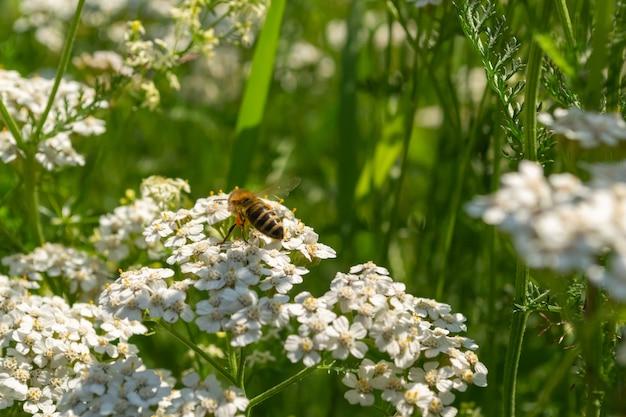 Gros plan de belles fleurs blanches et une abeille assise dessus