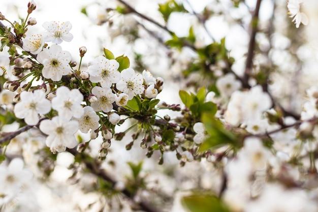 Gros plan de belles fleurs blanches de cerisier sur le jardin fleuri d'arbres journée de printemps ensoleillée