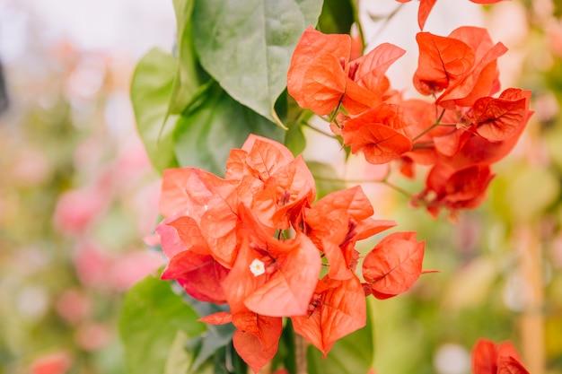 Gros plan de belles fleurs de bougainvilliers rouges