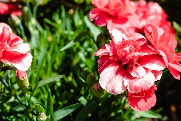 Gros plan de belles fleurs d'oeillets roses dans un jardin