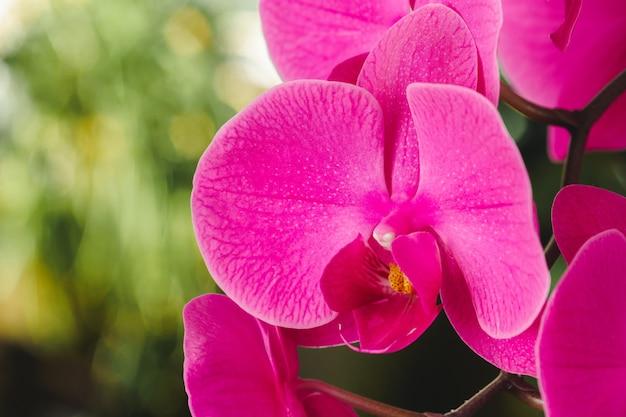 Gros plan de belles fleurs d'orchidées rose vif