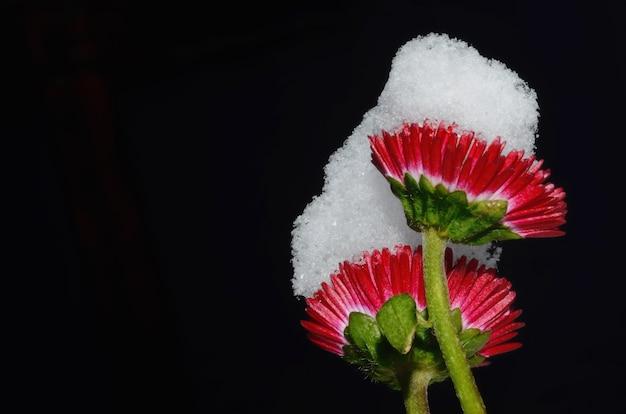 Gros plan de belles fleurs rouges couvertes de neige sur fond noir