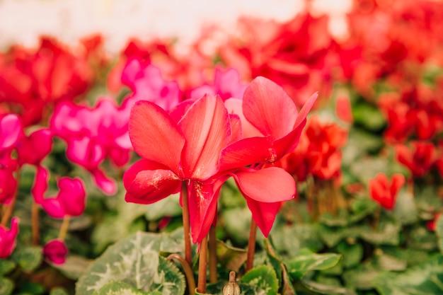 Gros plan, de, belles, fleurs rouges, fleurir, dans, les, jardin
