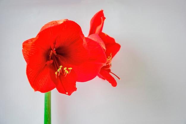 Gros plan de belles grandes fleurs rouges