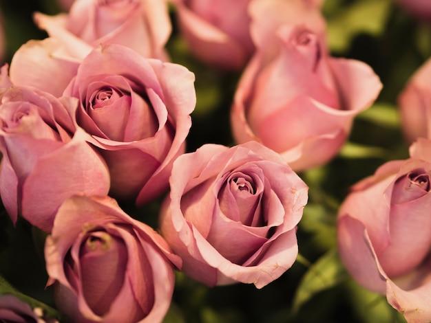 Gros plan de belles roses fraîches
