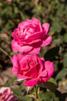 Gros plan de belles roses roses en plein air