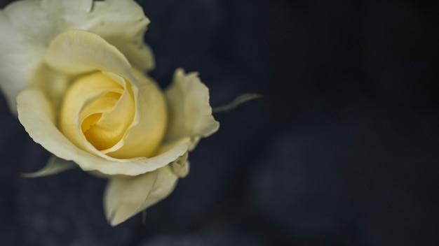 Gros plan de belles roses