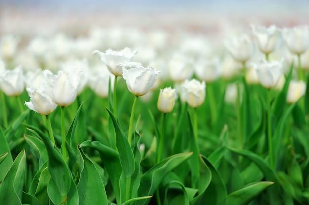 Gros plan de belles tulipes blanches dans le domaine du printemps